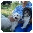 Photo 1 - Maltese/Poodle (Toy or Tea Cup) Mix Dog for adoption in Freeport, New York - Rocky and Nikki