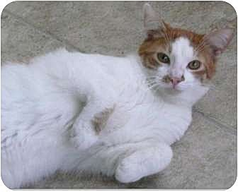 Domestic Shorthair Cat for adoption in Makawao, Hawaii - Frankie