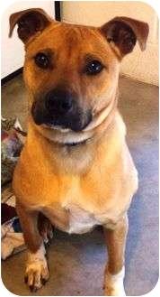 Shepherd (Unknown Type)/Boxer Mix Dog for adoption in Brattleboro, Vermont - Kush