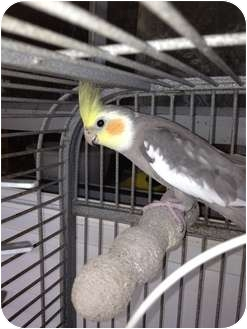 Cockatiel for adoption in Punta Gorda, Florida - Shinju
