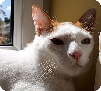 Domestic Mediumhair Cat for adoption in Alexandria, Virginia - Oliver