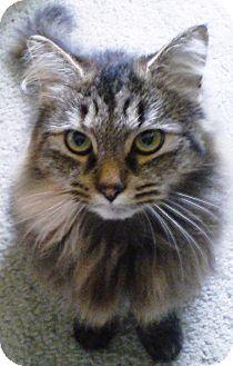 Domestic Longhair Cat for adoption in Worcester, Massachusetts - Bella