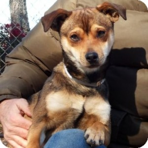 Basenji/Terrier (Unknown Type, Small) Mix Dog for adoption in Athens, Georgia - Lenny