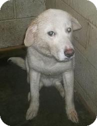 Great Pyrenees/Labrador Retriever Mix Dog for adoption in Media, Pennsylvania - Solomon
