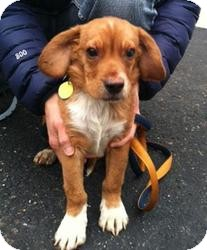 Cavalier King Charles Spaniel/Beagle Mix Puppy for adoption in Rochester Hills, Michigan - Benny