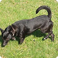 Adopt A Pet :: Bella - Needs a special person - Toronto/Etobicoke/GTA, ON