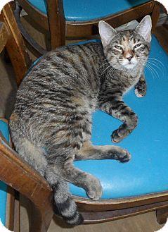 Domestic Shorthair Cat for adoption in Plano, Texas - BRANDY - SUPER SOCIAL!!!