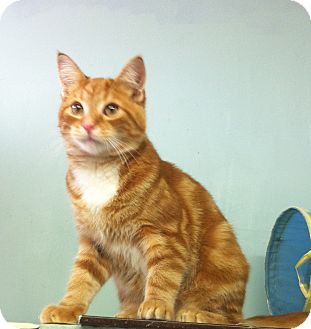 Domestic Shorthair Cat for adoption in Port Hope, Ontario - Alastair