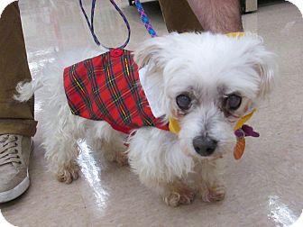Maltese/Yorkie, Yorkshire Terrier Mix Dog for adoption in Manhattan, Kansas - Alphie