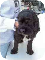 Cocker Spaniel Dog for adoption in Wauseon, Ohio - Bessie