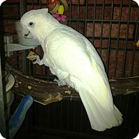 Adopt A Pet :: Ivy - Lenexa, KS