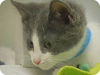 Domestic Shorthair Kitten for adoption in Medina, Ohio - Sparky