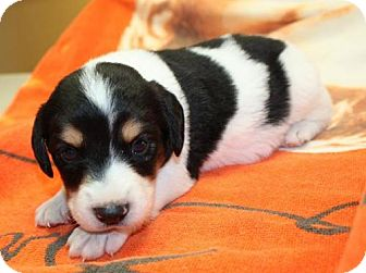 Beagle/Spaniel (Unknown Type) Mix Puppy for adoption in Cottageville, West Virginia - Cajun