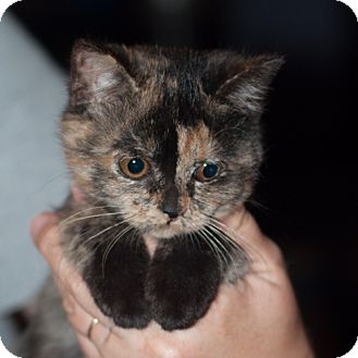 Calico Cat for adoption in New Martinsville, West Virginia - Gabby
