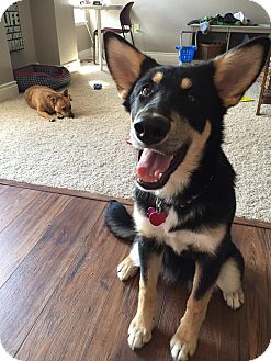 Alaskan Malamute/Shepherd (Unknown Type) Mix Puppy for adoption in Manhattan, Kansas - Lakota