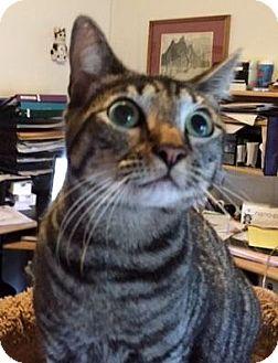 Domestic Shorthair Cat for adoption in Porter, Texas - Dru