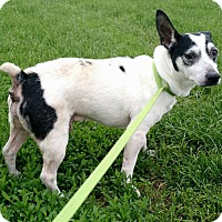 Jack Russell Terrier Mix Dog for adoption in Macomb, Illinois - Little Man 1