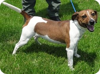 Beagle/Jack Russell Terrier Mix Dog for adoption in Olive Branch, Mississippi - Nell