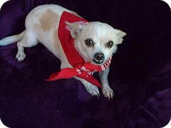 Chihuahua Mix Dog for adoption in Conway, Arkansas - Trixie
