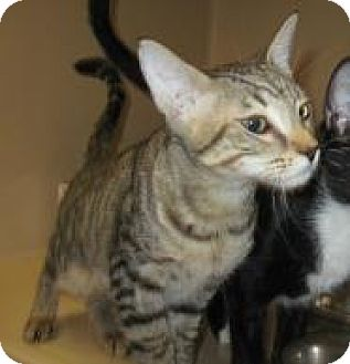 Domestic Shorthair Kitten for adoption in Stillwater, Oklahoma - Jerall