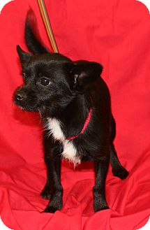 Terrier (Unknown Type, Small) Mix Dog for adoption in Umatilla, Florida - Lozo