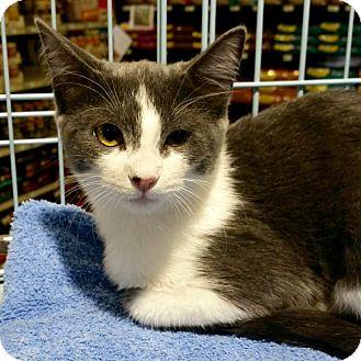Domestic Shorthair Cat for adoption in Tucson, Arizona - Amelia Earhart-the adventurous