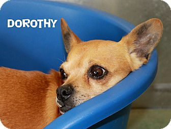 Chihuahua Mix Dog for adoption in Edgewood, New Mexico - Dorothy
