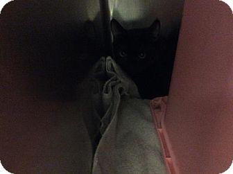 Domestic Shorthair Kitten for adoption in Janesville, Wisconsin - Akame