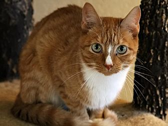 Domestic Shorthair Cat for adoption in Round Rock, Texas - Skipper