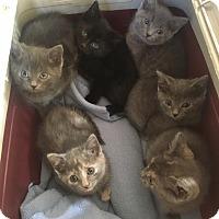 Adopt A Pet :: Finley - Chicago, IL