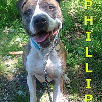 American Bulldog Mix Dog for adoption in Tinton Falls, New Jersey - PHILLIP