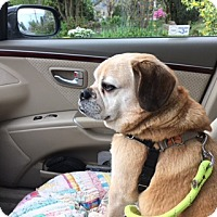Adopt A Pet :: Clark - Bellingham, WA