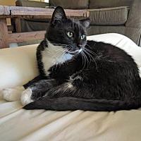Adopt A Pet :: Nick the Sweet Tuxedo - Oviedo, FL