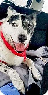 Cattle Dog/Border Collie Mix Dog for adoption in Sacramento, California - Bubba Hank full bloodpanel don