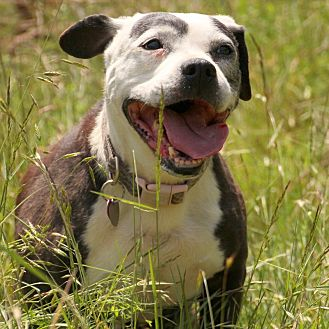 American Staffordshire Terrier/Labrador Retriever Mix Dog for adoption in Eugene, Oregon - Tara