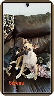 Chihuahua/Pug Mix Dog for adoption in Snyder, Texas - serena