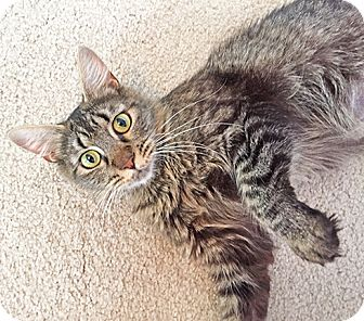 Domestic Shorthair Cat for adoption in Youngsville, North Carolina - Nellie17