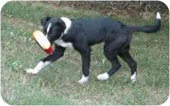 Border Collie Dog for adoption in Tiffin, Ohio - Tommy