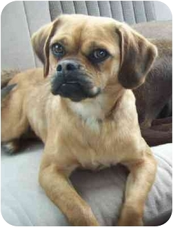 Pug/Beagle Mix Dog for adoption in Wakefield, Rhode Island - Pugsly