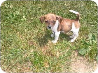 Dachshund/Feist Mix Puppy for adoption in Bel Air, Maryland - Vivian