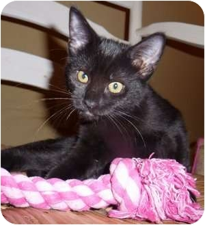 Siamese Kitten for adoption in Davis, California - Sheba Quickfire