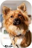 Pomeranian/Spaniel (Unknown Type) Mix Dog for adoption in Los Angeles, California - Foxy