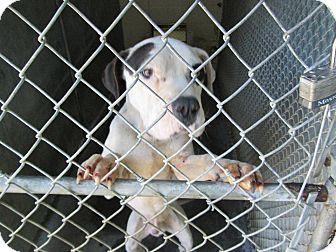 Pit Bull Terrier Mix Dog for adoption in Henderson, North Carolina - Boss Man