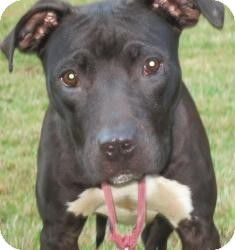 Labrador Retriever/Pit Bull Terrier Mix Dog for adoption in Bloomfield, Connecticut - Daybreak
