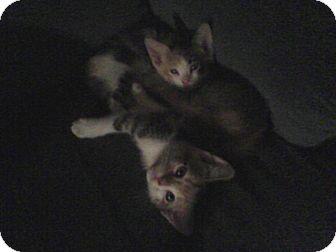 Domestic Shorthair Kitten for adoption in Yuba City, California - Kittens