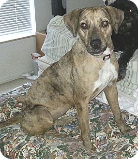 Catahoula Leopard Dog/Beagle Mix Dog for adoption in Orlando, Florida - Missy
