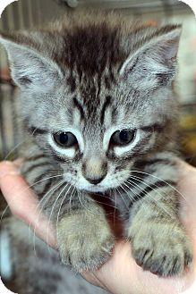 American Shorthair Kitten for adoption in Clinton, Louisiana - Nicholas