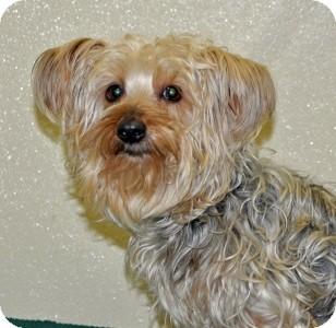 Yorkie, Yorkshire Terrier Dog for adoption in Port Washington, New York - Angelica