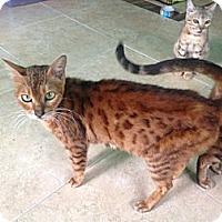 Adopt A Pet :: PrimRose - Lantana, FL
