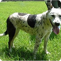 Adopt A Pet :: Dotti - New Boston, NH